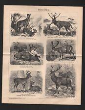 Lithografie 1898: HIRSCHE. Moschustier Milu Renntier Damhirsch Reh Edelhirsch