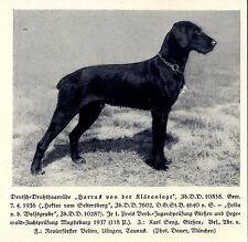 Harras von der Kläranlage Deutsch-Drahthaar Jagdhunde & Züchter 1930-40
