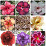 50PC Desert Rose Seeds Mixed Colors,rare adenium flower,US seller and free ship