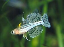 6 Gertrude Rainbow Live Freshwater Aquarium Fish