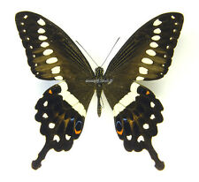 Unmounted Butterfly/Papilionidae - Papilio lormieri lormieri, male, CAR, A-