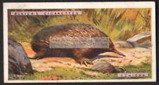 Spiny Anteaters Australian Echinda Marsupial 1924 Trade Ad Card