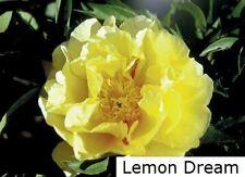 """1x ITOH PEONY """" Lemon Dream """" Rare Intersectional Paeonie Paeonia Peonie Rose 6"""""""