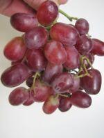 Vitis vinifera Crimson Seedless - Weintraube Crimson Seedless 60-100
