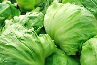 Iceberg Lettuce Head Seeds, Garden Salads, NON-GMO, Variety Sizes, FREE SHIPPING