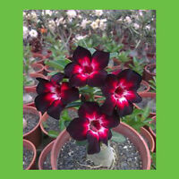Extreme Dark Red Petals Of Flowers Seeds Dark Red Desert Rose Seeds Desert Rose