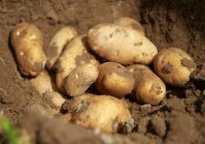 SILVERTON RUSSET - 1 lb. Seed Potatoes - Live Organic Heirloom Vegetable Tubers