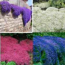 100 PCS Creeping Thyme ROCK CRESS Seeds Perennial Natural Growth Multi-Colored