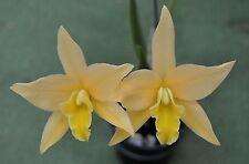 ORCHID  Laelia Canariensis   small division
