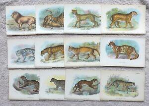 Lot of 31 x Carnivora (cats) prints from Lloyd's Natural History, 1897