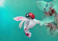 A1 Nature Photo Ladybug Flower Poster Artwork Print 60 x 90cm 180gsm Gift #13164
