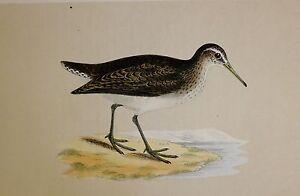 c1875 ANTIQUE PRINT ~ SANDPIPER HAND COLOURED British Birds Morris