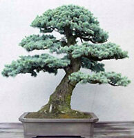 50 seeds of Bonsai Colorado Blue Spruce (Picea pungens) Evergreen tree