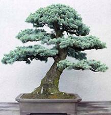 50 graines de bonsaï Colorado épinettes bleues (Picea pungens) Evergreen tree