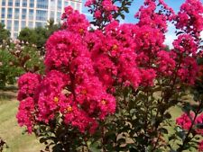 35+ Crape Myrtle Tree Seeds /  Perennial / Dk. Pink