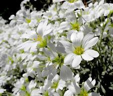SNOW IN SUMMER WHITE GROUND COVER Cerastium Tomentosum - 100,000 Bulk Seeds