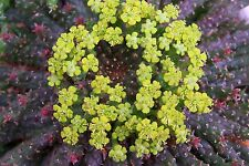 New listing Euphorbia Flanaganii * Beautiful Cultivar* / Cactus Succulent