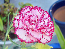 30+   CARNATION CHABAUD STRIPED & PICOTEE MIX  / FRAGRANT PERENNIAL FLOWER SEEDS