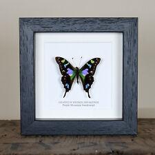 Purple Mountain Swallowtail in Box Frame (Graphium weiskei arfakensis)