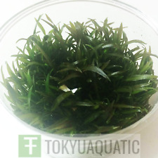 Cryptocoryne Mioya Tissue Cup Freshwater Live Aquarium Plant Crypt Tropica Brown