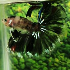 Live Betta Fish Black Marble OHM Male from Indonesia Breeder