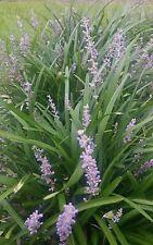 5 LIVE BARE ROOT Big Blue Lilyturf Liriope Monkey Grass Evergreen border cover