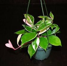 "Hoya Carnosa 'Krimson Queen': Live Plants : Ships in 3""or 4"" Pot!"
