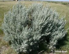 100 SILVER SAGEBRUSH Artemisia Ludoviciana Herb Flower Seeds + Gift & Comb S/H