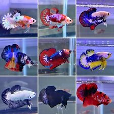 """LUCKY BOX!!! Buy """"ONE GET ONE"""" or """"MORE"""" PLAKAT, HALFMOON Live Male Betta Fish"""