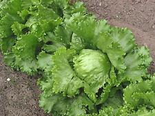 2000 Graines de Laitue Iceberg / Batavia Américaine / Potager Légumes Salades