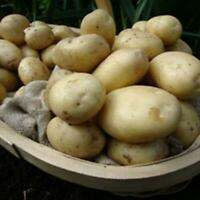 Seed potatoes Nicola 1kg second early
