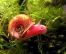 5 Planorbarius  lumache per acquario