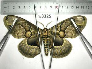 W3325 # Real Brahmaeidae Brahmaea owl moth Vietnam