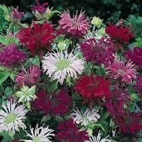 Monarda- Didyma Mix- Bee Balm- 25 seeds- BOGO 50% off SALE