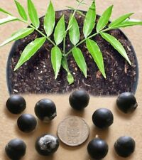 5 Graines de noix de lavage 'Sapindus Mukorossi' Soap Berry tree seeds