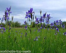 """Sibirische Schwertlilie Iris sibirica 15 Samen """"ALLES NUR 1 EURO"""""""