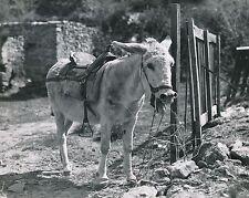 ÂNE SELLÉ c. 1950 -  Mule Mulet Baudet  Grand Format - CH 82
