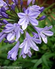 New Agapanthus Ethel's Joy grey blue flowers excellent garden plant