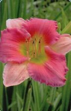 Daylily Summer Perennial Flowers & Plants