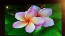"3 Tip Seashell Unrooted Hawaiian Plumeria Cutting~Aprox 11"" Frangipani Usa"