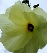 10 Seeds Hibiscus vitifolius Yellow Mallow Tropical Plant Perennial Annual Sale