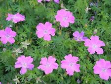 Pflanze/Blume/Staude Storchenschnabel lila