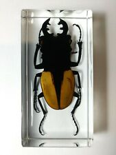 ODONTOLABIS LUDEKINGI. Real Lucanidae immortalized in clear casting resin.
