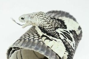 Cobra Snake Skin Snakeskin Hide Leather Taxidermy Open Mouth with Eyes