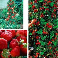 100x rosso fragola rampicante semi fragola biologica frutta casa giardino pianta