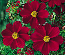 COSMOS RED VERSAILLES Cosmos Bipinnatus - 1,000 Bulk Seeds