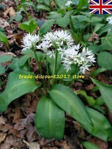 50 Seeds of Garlic Wild Ramsons Perennial Herb Plant UK SELLER