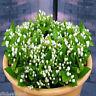 50 PCS White Jasmine Plant Flowers Seeds Home Garden
