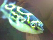 Figure 8 Puffer - Tropical Fish