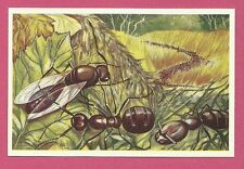 Red Forest Ant Animals of Africa Congo Van Tieghem Dupont Chicory Card #83